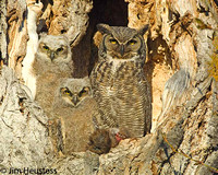 Great Horned Owl with Young