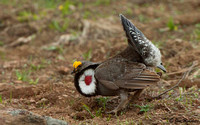 _DSC5789-Blue Grouse (Dusky)