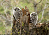 Great Gray Owlets